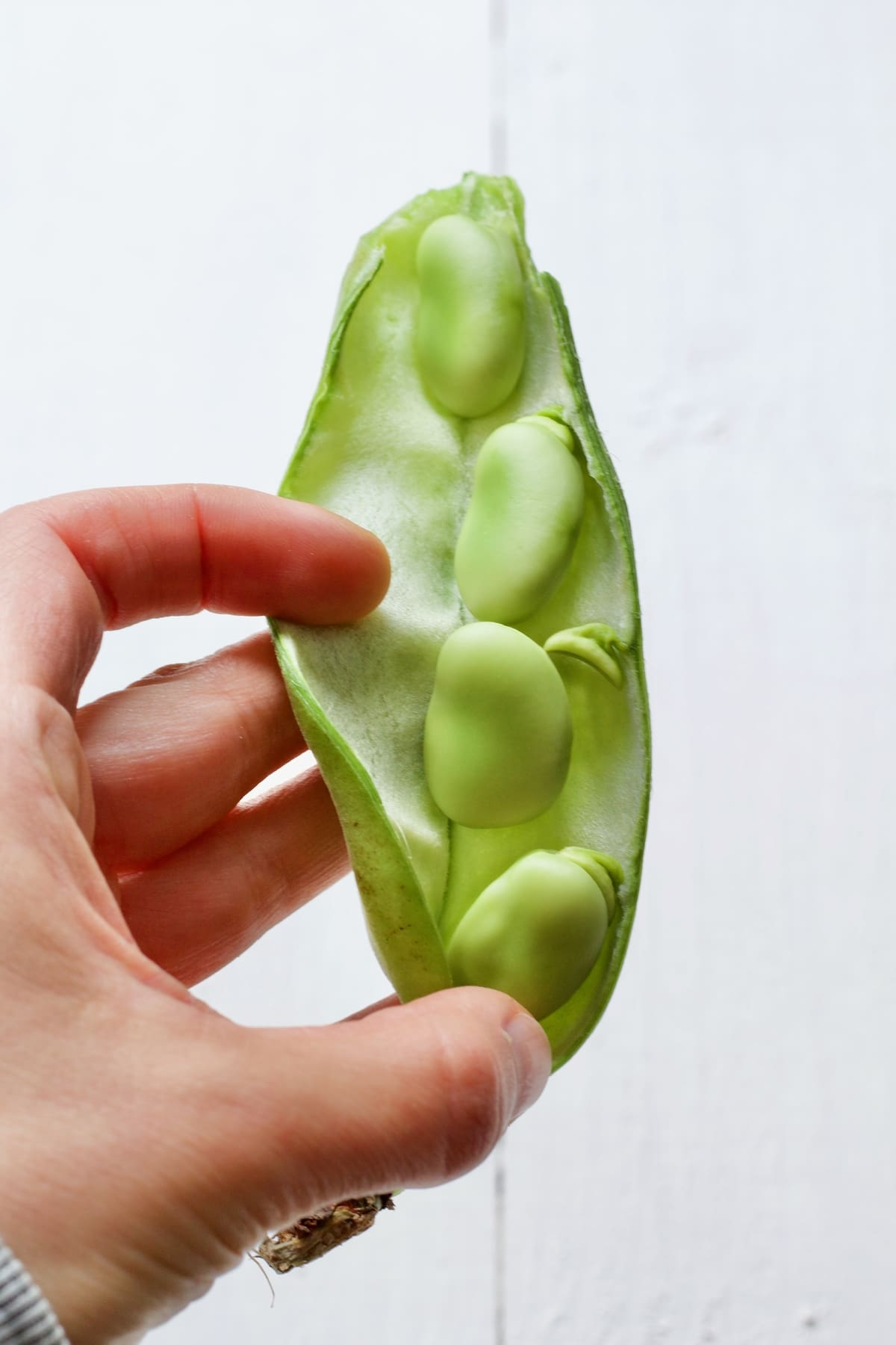 Hand holding open pod with 4 broad beans inside it.